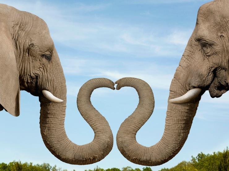 Elephants Making Heart Shape with Trunks